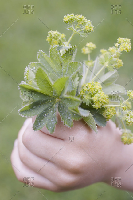 Child's hand holding freshly picked lady's mantle