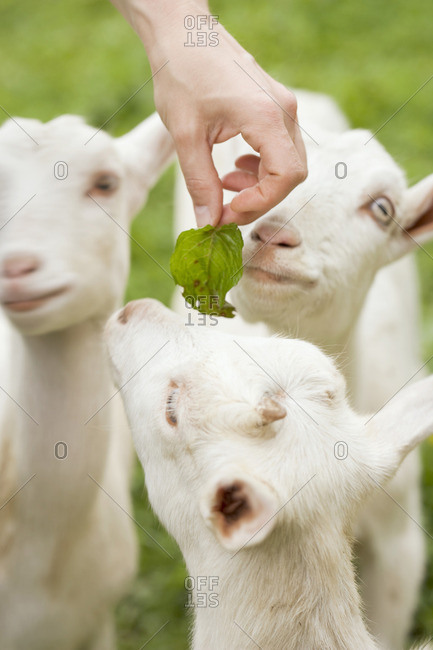 Young goats being fed