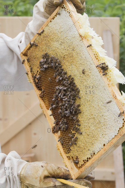 A beekeeper holding up a honeycomb of bees