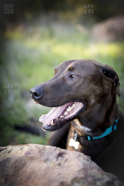 Portrait of a cute panting dog