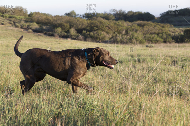 Chocolate Labrador retriever in field at dusk