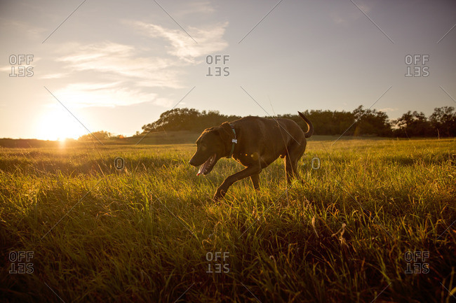 Dog exploring a field at sunset
