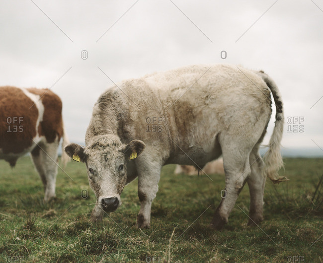 White cow grazing in a field