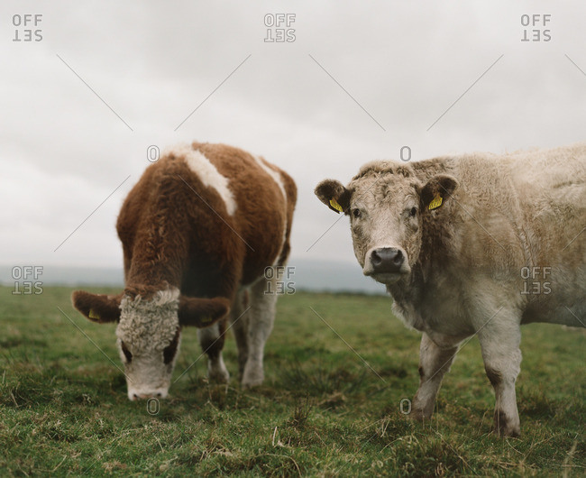 Two cows grazing in a grassy meadow