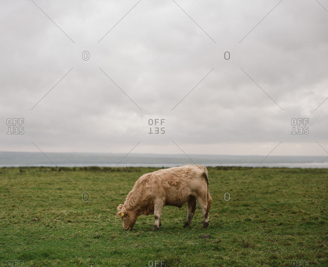 White cow grazing in a meadow near the sea