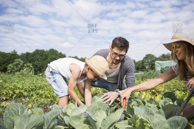 Family Weeding vegetable in community garden, Bavaria, Germany