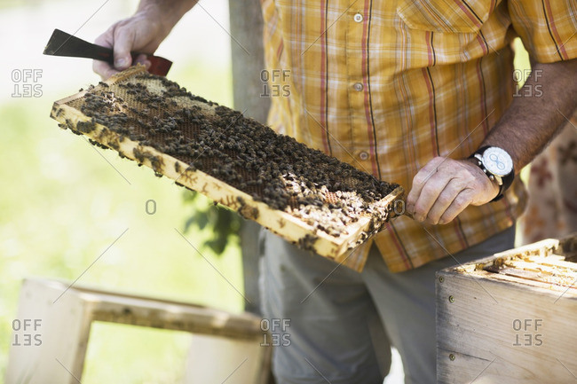 Beekeeper holding a honeycomb, Freiburg im Breisgau, Baden-Wurttemberg, Germany