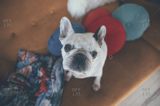 Portrait of French bulldog sitting on couch looking up