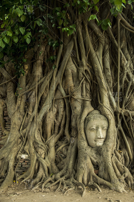 Buddha Head In Roots Of Tree At Ayutthaya Historical Park