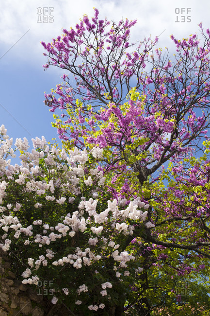 Spring Blossom In Minerve In Languedoc-roussillon, France, Europe
