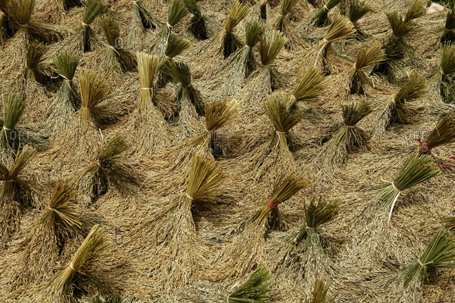 High Angle View Of Paddy Rice In Sulawesi, Kete Kesu