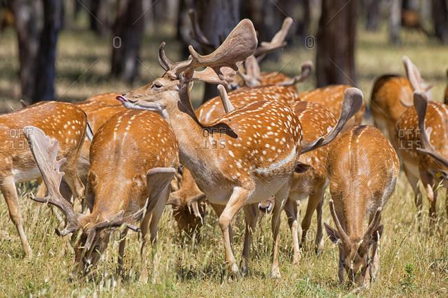 Herd Of Red Deer In Montes De Toledo, Spain
