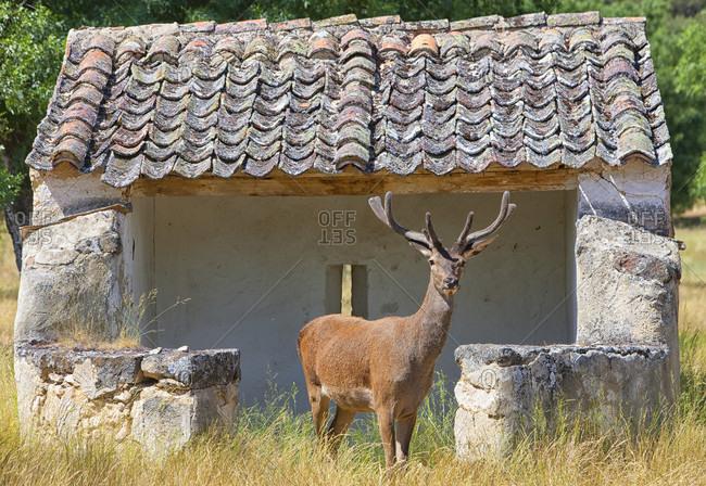Red Deer Stag, Cervus Elaphus In Montes De Toledo, Spain