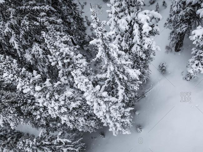 Aerial View Of Pines Trees Covered In Snow At Brighton Resort In Utah