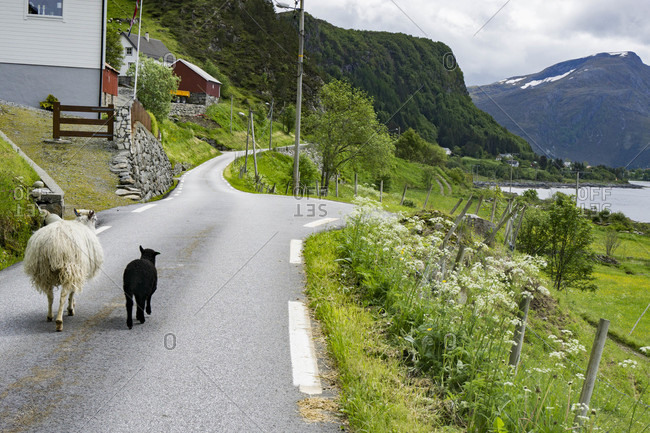 Sheep Walking Along A Small Country Road In Selje, Norway