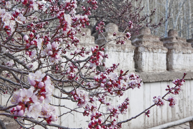 Apricot Blooming At Alchi Temple Wall In Alchi, Ladakh, India