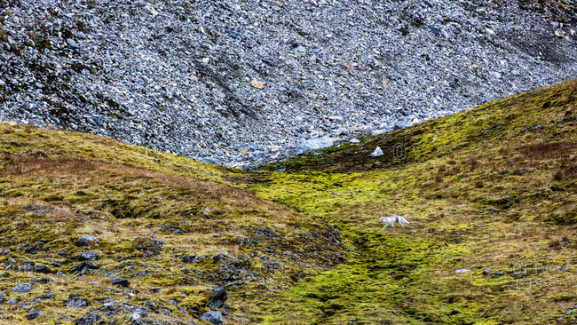 Young Arctic Fox On Grassy Landscape With Rocky Hill In The Background
