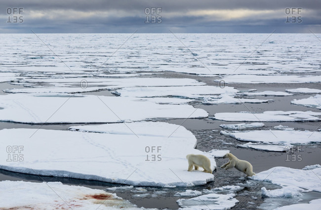 Two Polar Bears Walking And Jumping Between Pack Ice Pieces In Spitsbergen, Svalbard