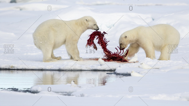 Two Young Polar Bears Finishing Their Feast In Spitsbergen, Svalbard