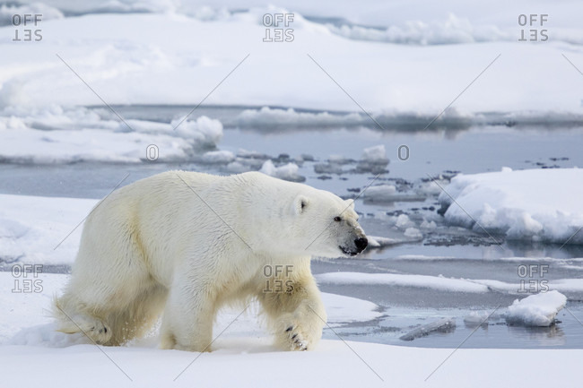 Polar Bear Walking Fast On The Pack Ice With Water In Spitsbergen, Svalbard