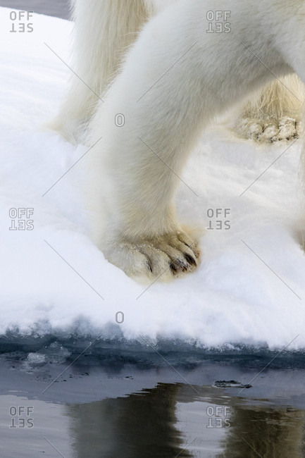 Close-up Of Polar Bears Paws On The Pack Ice Alongside The Waters Of The Arctic Sea