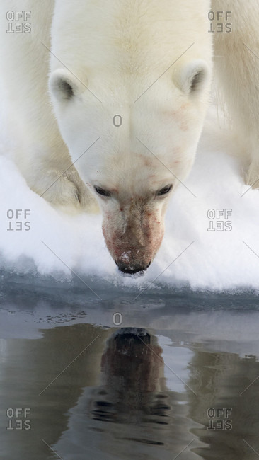 Close-up Of A Polar Bear Looking At Its Reflection In The Waters Of The Arctic Sea