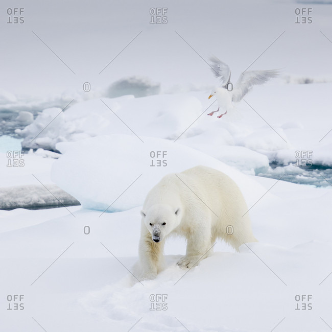 Northern Fulmar Trying To Land On The Back Of A Polar Bear On The Pack Ice In Spitsbergen, Svalbard