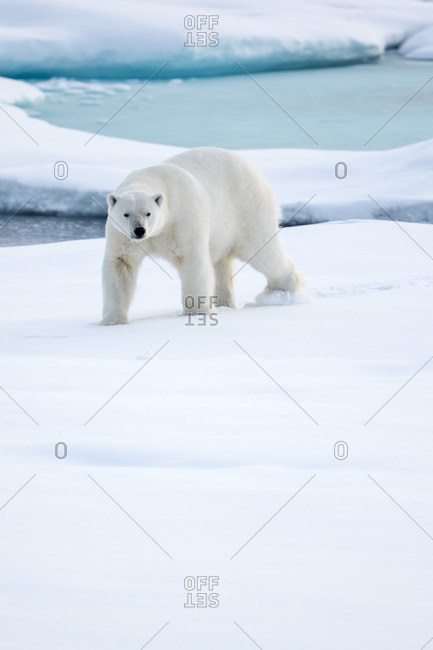 Polar Bear On Pack Ice In Spitsbergen, Svalbard