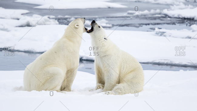 Two Polar Bears Sitting In Front Of Each Other On The Pack Ice And Growling