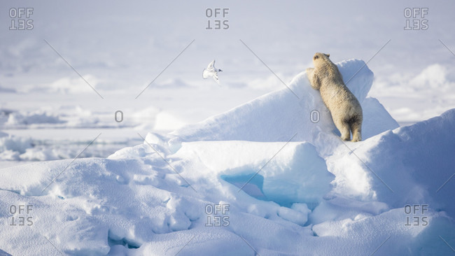 Polar Bear Looking At Bird Flying In Snow In Spitsbergen