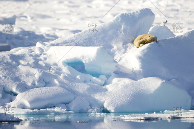 Polar Bear Resting On An Ice With A Bird On Guard, In Spitsbergen, Svalbard
