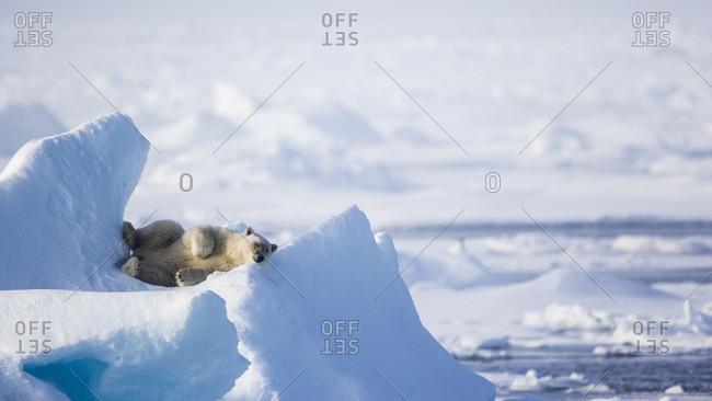 Polar Bear Sleeping On An Ice In Spitsbergen, Svalbard