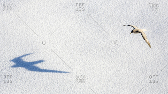Shadow Of Northern Fulmar Flying Above Immaculate Pack Ice In Spitsbergen, Svalbard