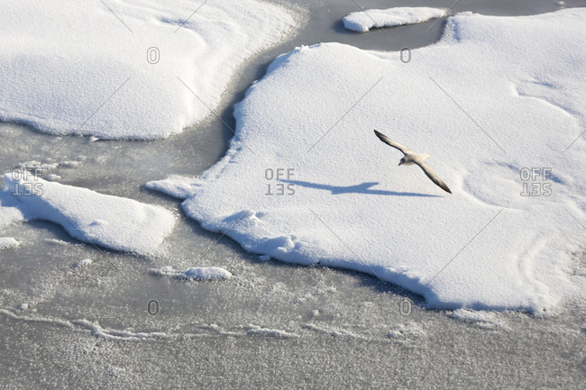 Northern Fulmar Flying Above Immaculate Pack Ice In Spitsbergen, Svalbard