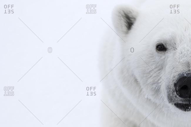 Close-up Of A Polar Bears Half Face In Spitsbergen