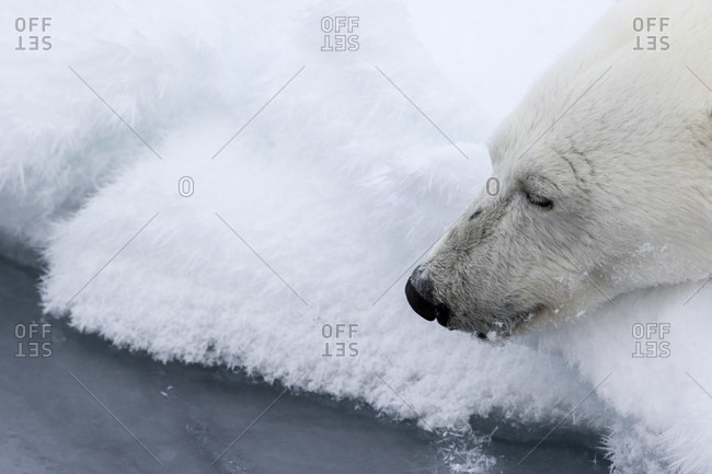 Polar Bear Lying On The Ice And Waiting For A Prey In The Arctic Sea, Spitsbergen