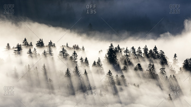 Sun Shining On Top Of Fir Tree Above The Fog In The Jura Mountains