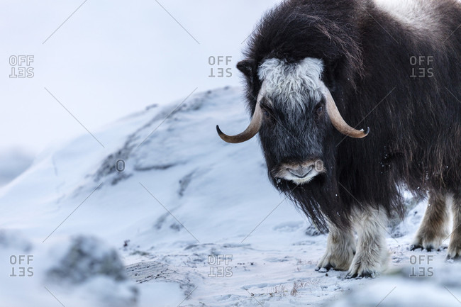 Portrait Of A Musk Ox Standing On A Snowy Landscape In Dovrefjell National Park