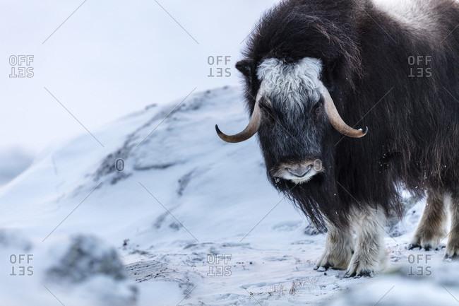 Portrait Of A Musk Ox Standing On A Snowy Landscape In Dovrefjell National Park