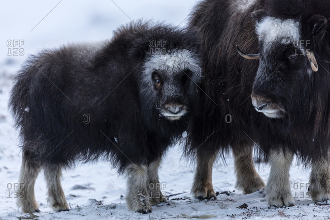 A Musk Ox With Its Calf Standing On The Snow In Dovrefjell National Park