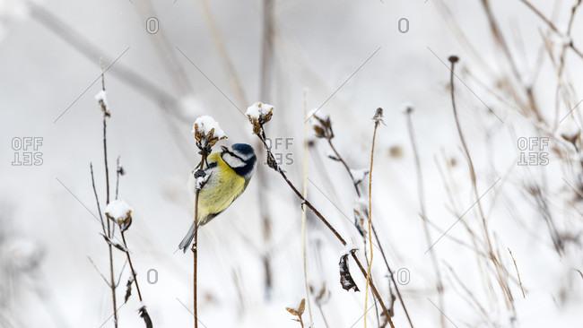 A Blue Tit Perching On A Dry Flower Stem In A Snowy Landscape
