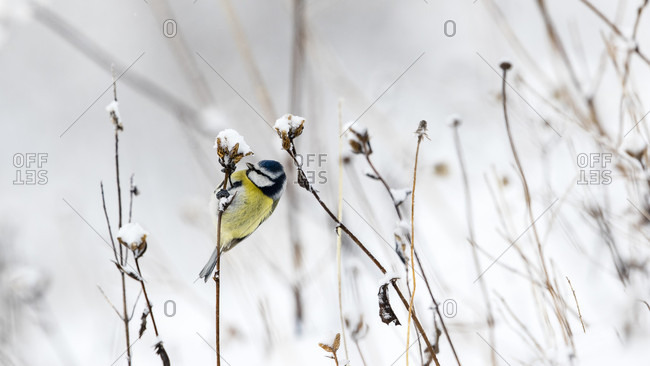 A Blue Tit Perching On A Dry Flower Stem In A Snowy Landscape