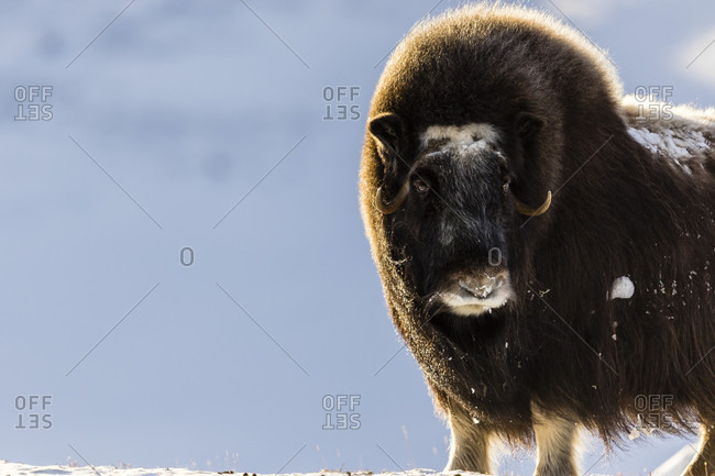 Portrait Of A Musk Ox Standing On The Snow