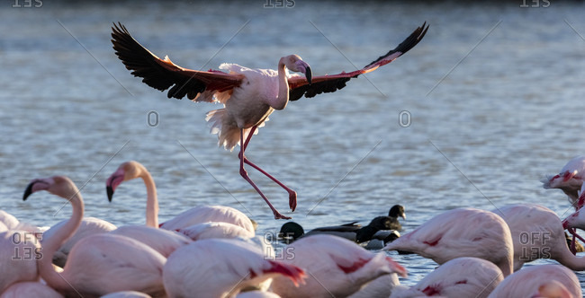 Several Pink Flamingoes Splashing In The Water
