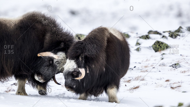 Two Musk Ox Fighting In The Snowy Landscape