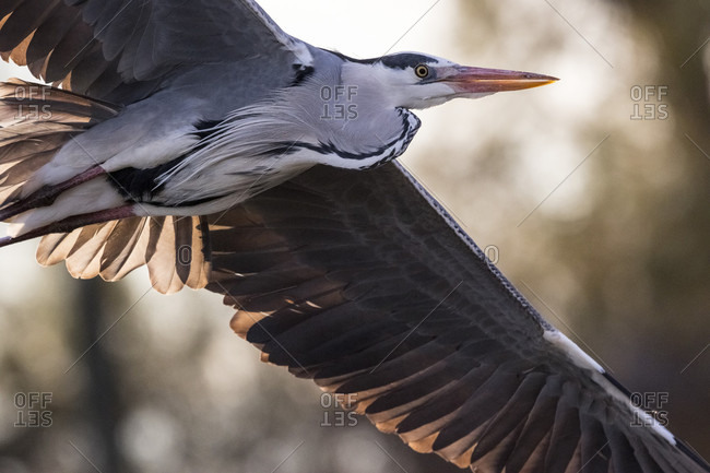 Close-up Of A Heron Flying In Camargue, France