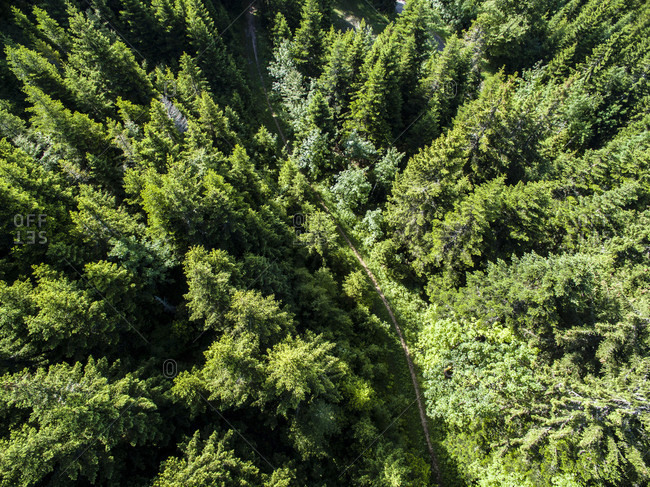 Aerial View Of A Narrow Path Meandering Through The Pine-tree Forest In Gingins