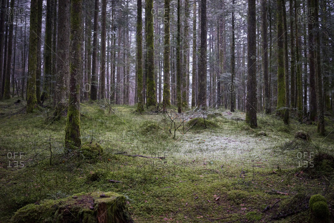 Forest With Moss Covered Ground In Chartreuse Regional Nature Park
