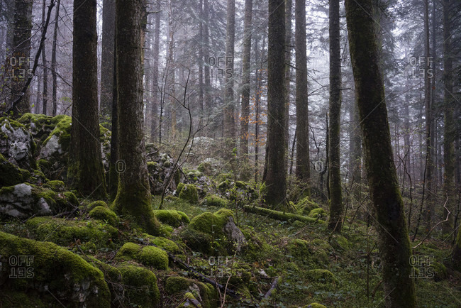 Forest With Moss Covered Ground In Chartreuse Regional Nature Park In France