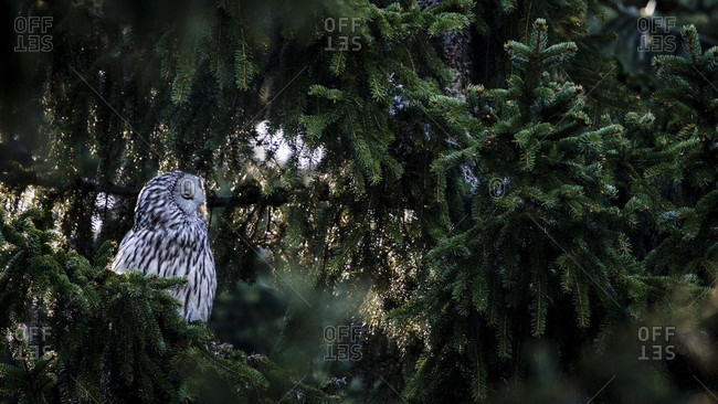 Owl Resting In A Spruce Tree In A Slovenian Forest